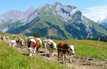Tout sur le Reblochon : visite à la ferme, en Haute Savoie