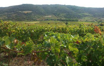 Balade Vigneronne au cœur de l'Hérault : rencontre avec une vigneronne passionnée !