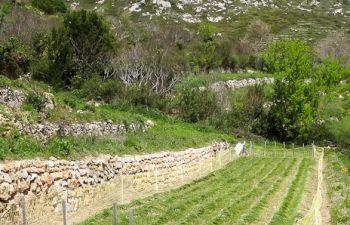 Visite-découverte d'une safranière au pied du Garlaban
