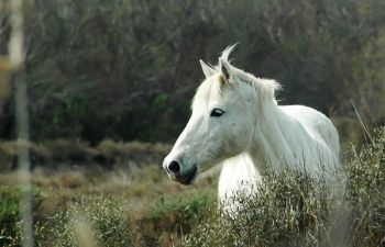 Safari photo : chevaux sauvages de Camargue