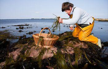 Algues comestibles : initiation avec une algocultrice et patron pêcheur
